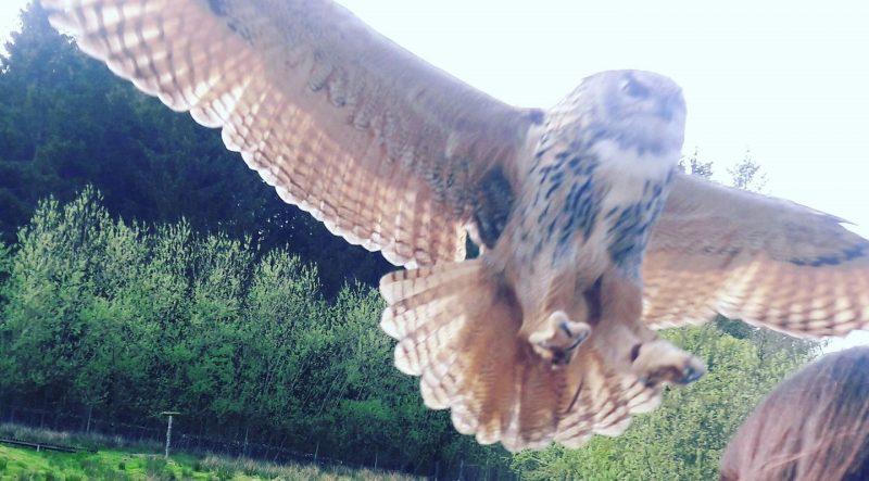 Owl Bird of Prey Centre Leaplish Kielder